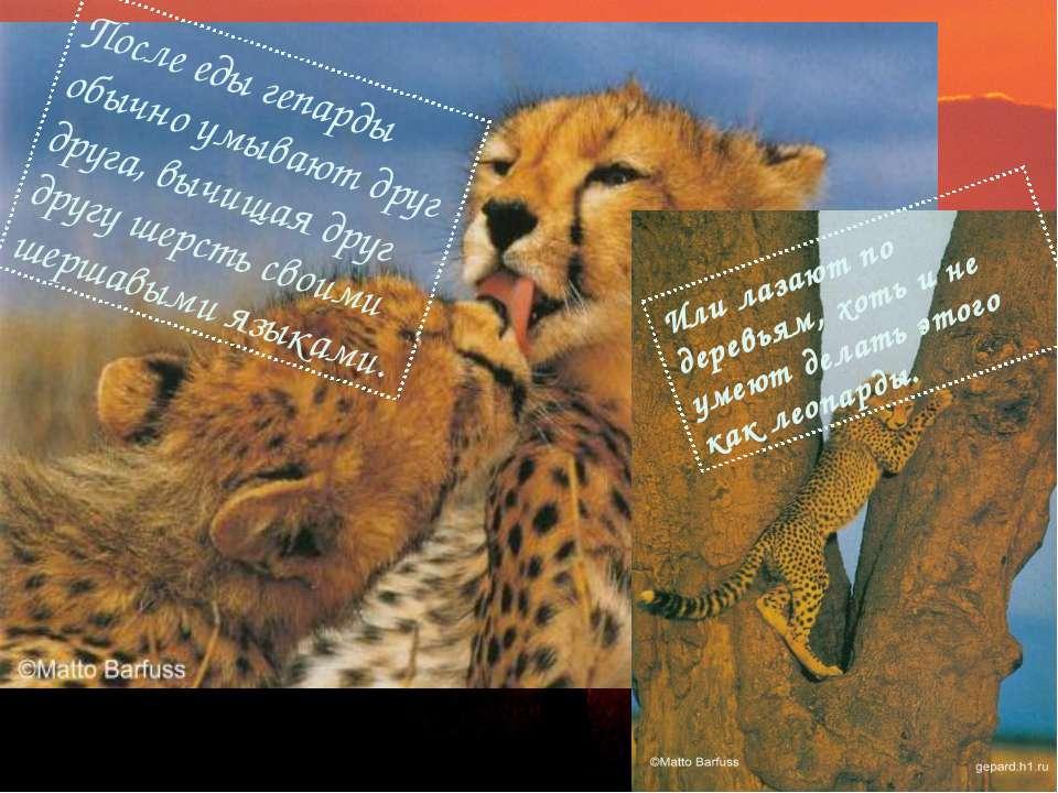 После еды гепарды обычно умывают друг друга, вычищая друг другу шерсть своими...