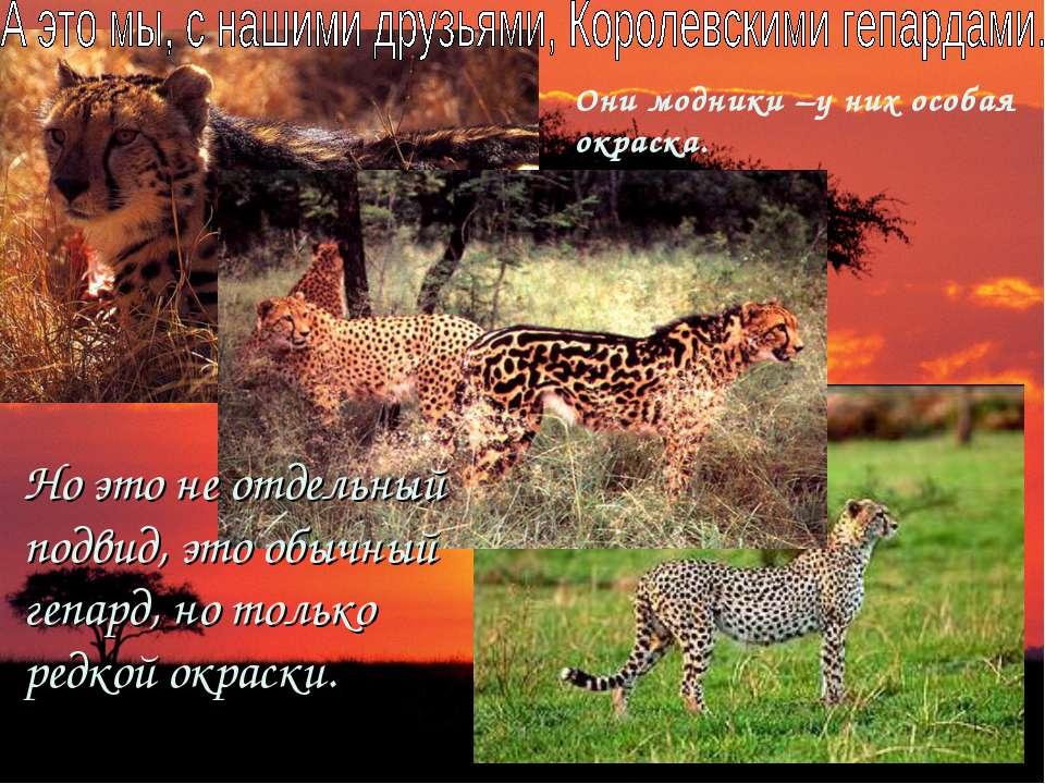 Но это не отдельный подвид, это обычный гепард, но только редкой окраски. Они...