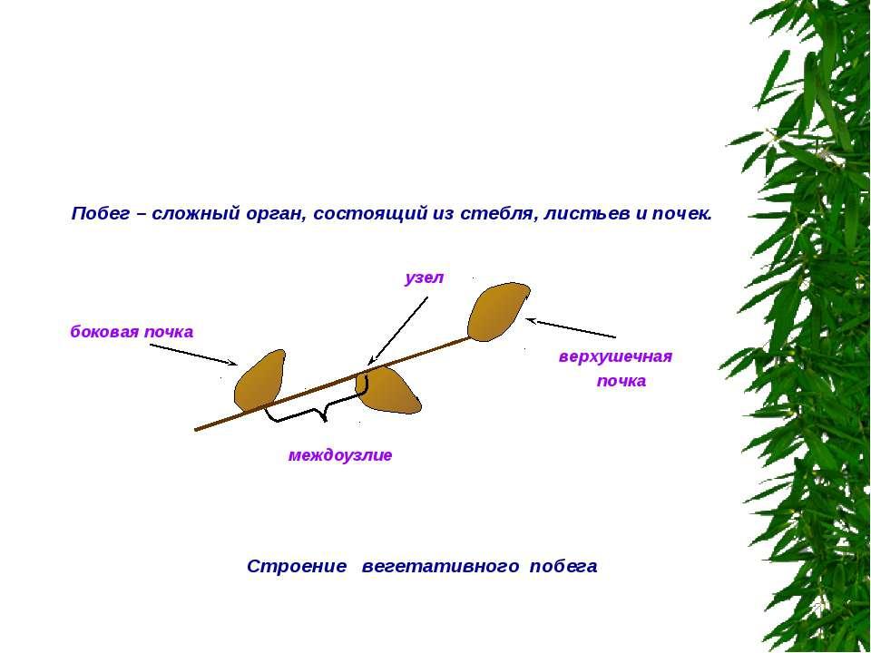 Строение вегетативного побега узел верхушечная почка боковая почка междоузлие...