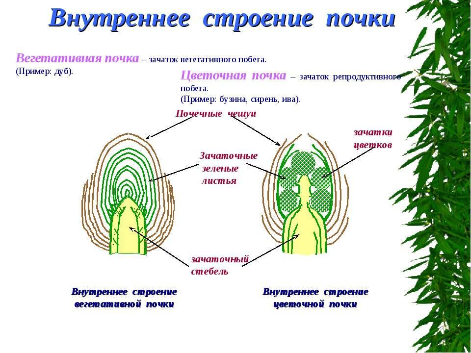 Внутреннее строение почки Вегетативная почка – зачаток вегетативного побега. ...