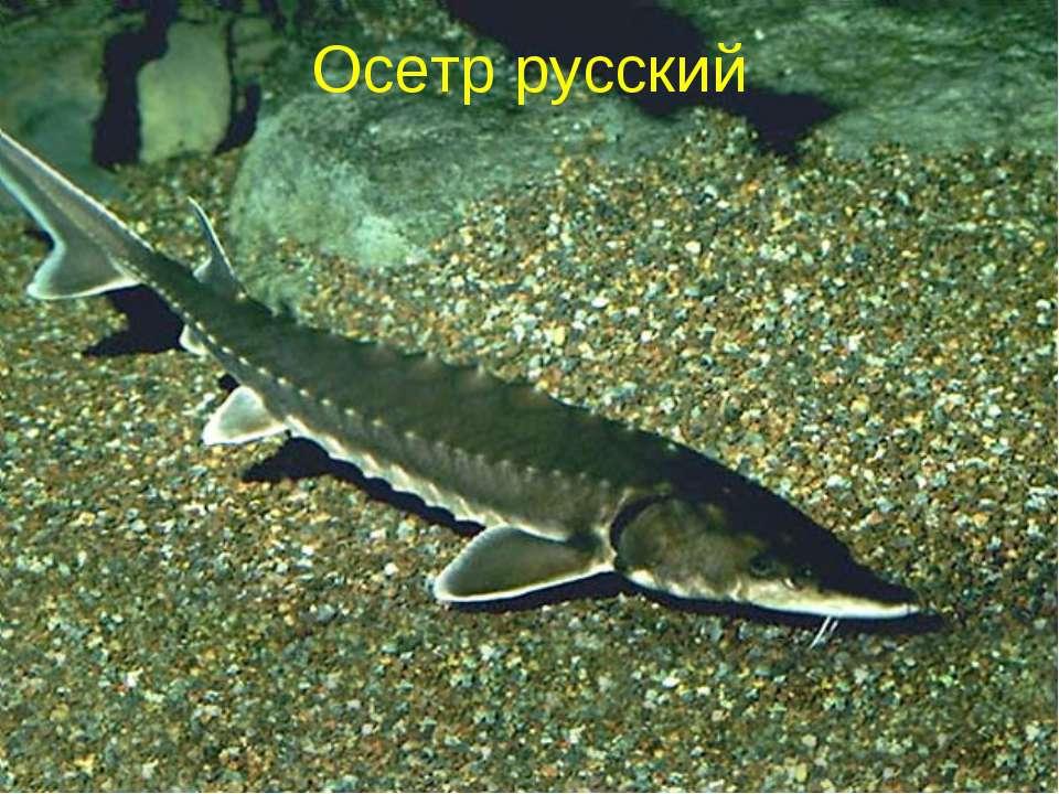 Осетр русский
