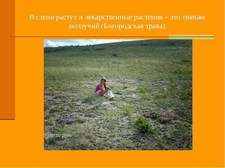 В степи растут и лекарственные растения – это тимьян ползучий (Богородская тр...