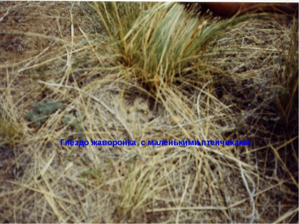 Гнездо жаворонка с маленькими птенчиками