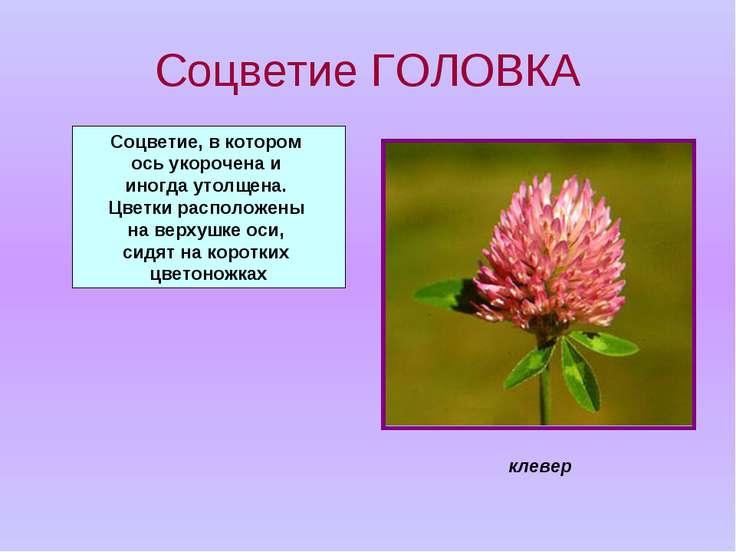 Соцветие ГОЛОВКА Соцветие, в котором ось укорочена и иногда утолщена. Цветки ...