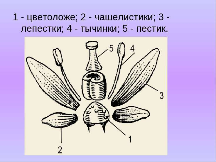 1 - цветоложе; 2 - чашелистики; 3 - лепестки; 4 - тычинки; 5 - пестик.