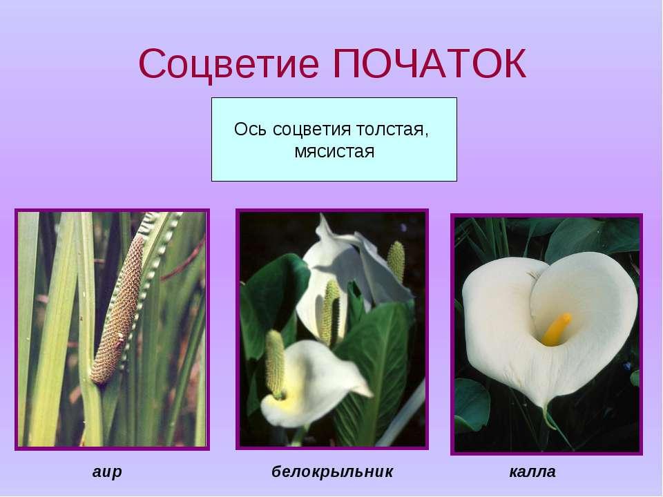 Соцветие ПОЧАТОК Ось соцветия толстая, мясистая калла белокрыльник аир
