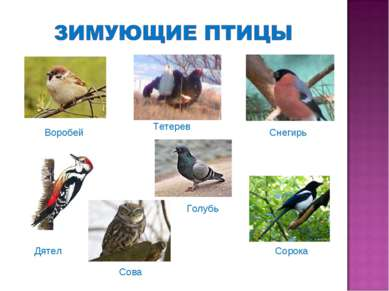 Воробей Дятел Тетерев Снегирь Голубь Сова Сорока
