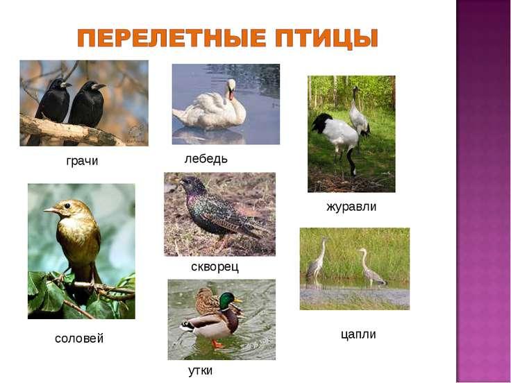 грачи журавли соловей лебедь скворец цапли утки