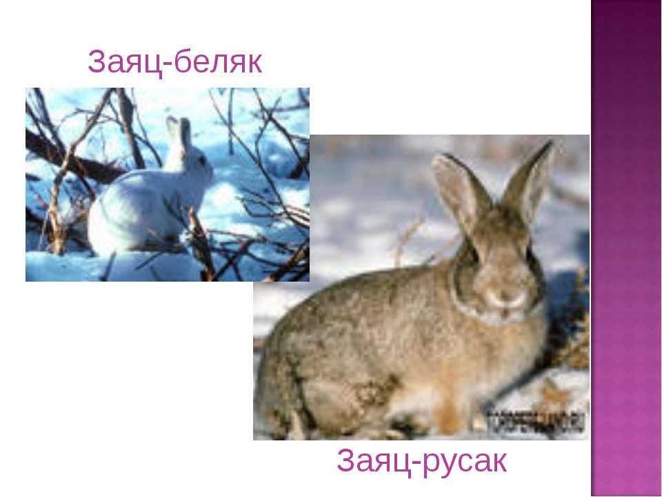 Заяц-русак Заяц-беляк