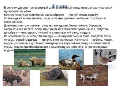 Фауна В зоне тундр водятся северный олень, полярный заяц, песец и оригинальны...