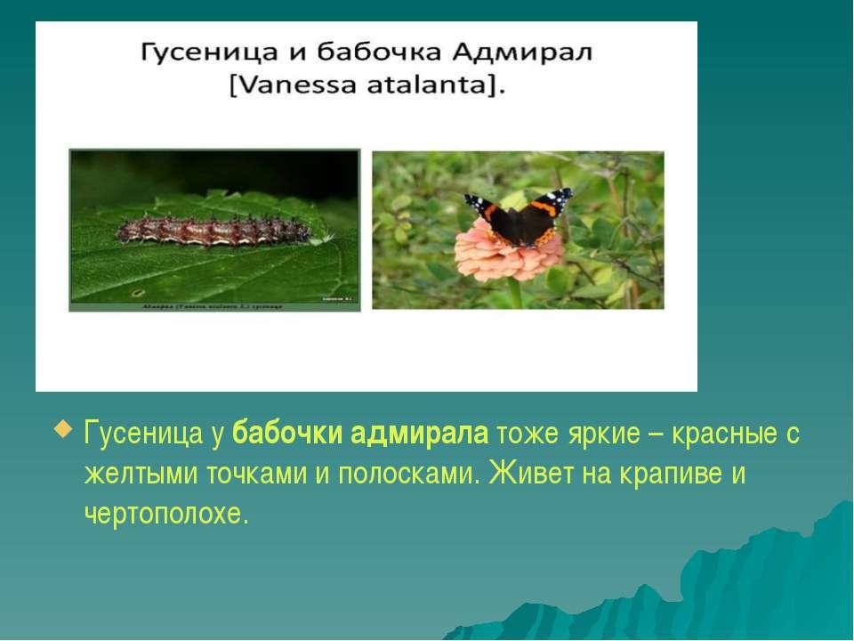 Гусеница убабочки адмиралатоже яркие – красные с желтыми точками ...