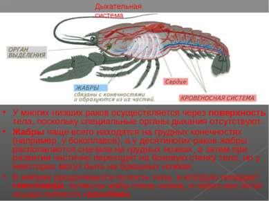 Дыхательная система У многих низших раков осуществляется через поверхность те...