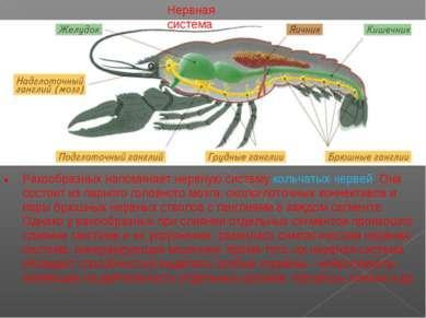 Нервная система . Ракообразных напоминает нервную систему кольчатых червей. О...