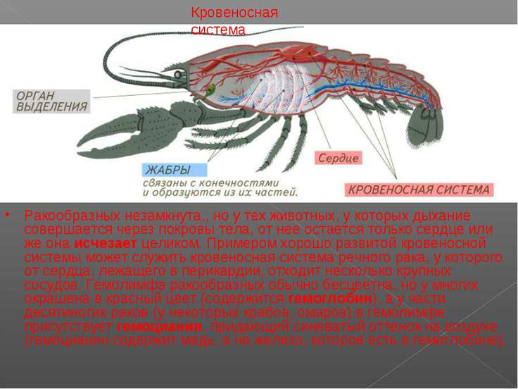 Кровеносная система Ракообразных незамкнута,, но у тех животных, у которых ды...