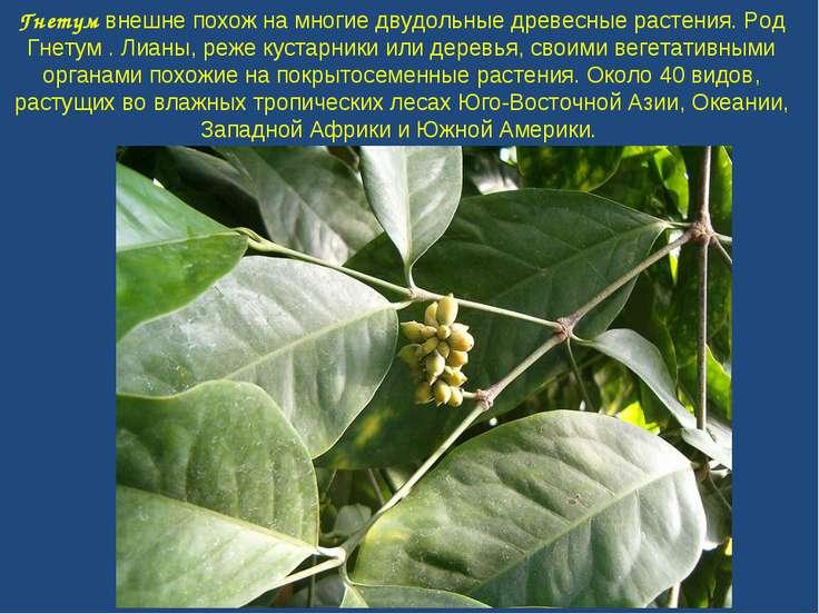 Гнетум внешне похож на многие двудольные древесные растения. Род Гнетум . Лиа...