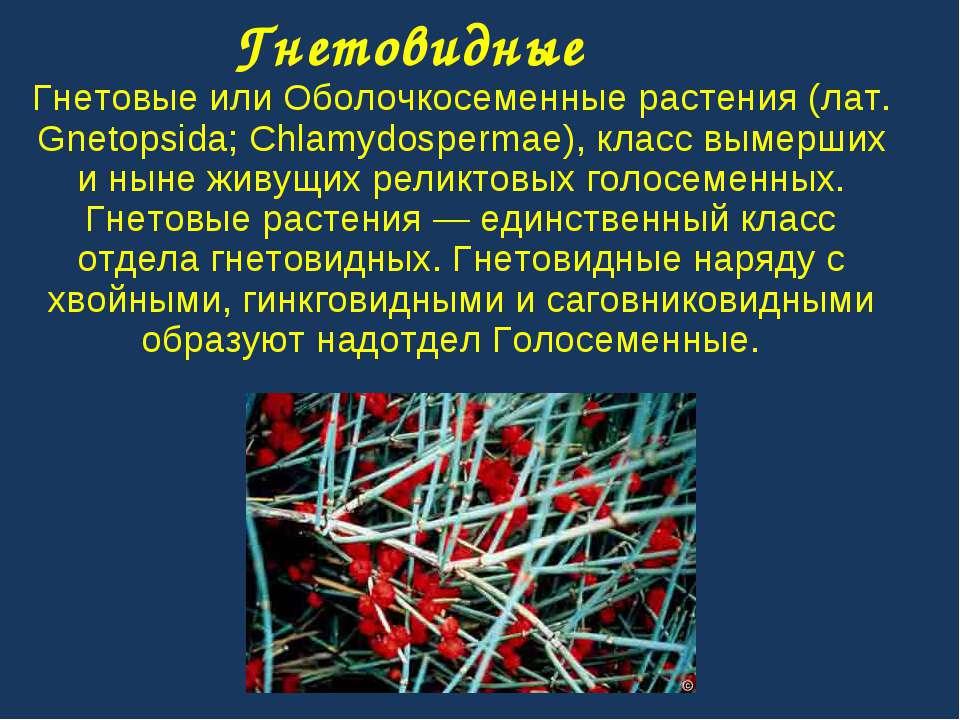 Гнетовидные Гнетовые или Оболочкосеменные растения (лат. Gnetopsida; Chlamydo...