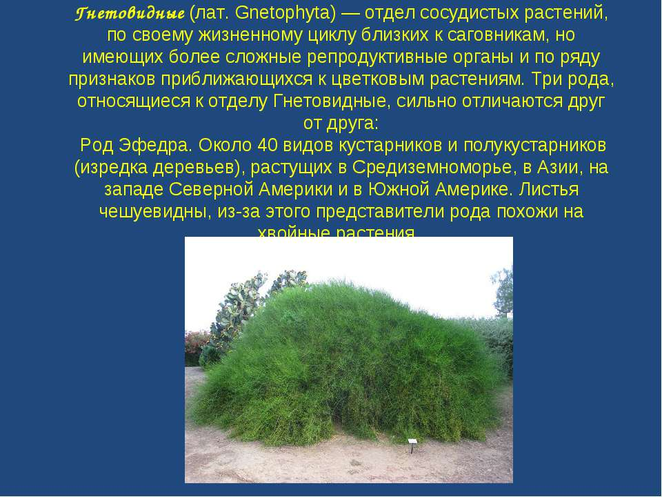 Гнетовидные (лат. Gnetophyta) — отдел сосудистых растений, по своему жизненно...
