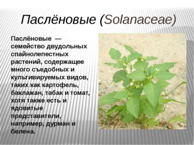 Паслёновые (Solanaceae) Паслёновые — семейство двудольных спайнолепестных рас...