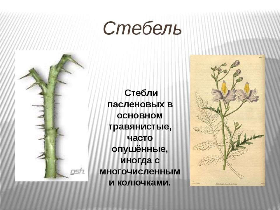 Стебель Стебли пасленовых в основном травянистые, часто опушённые, иногда с м...