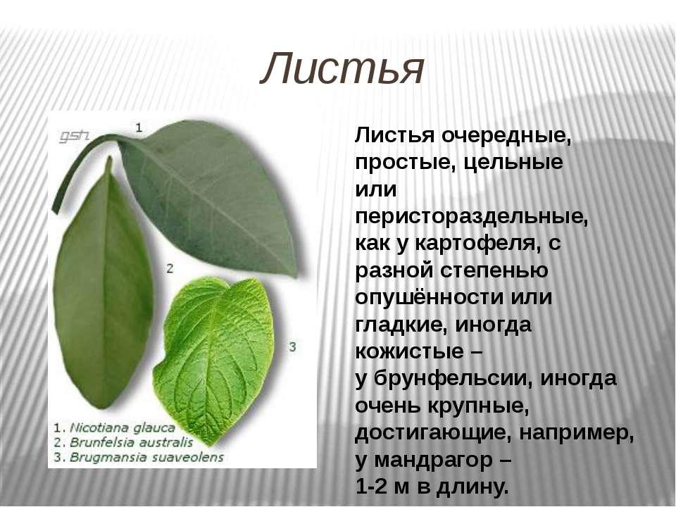 Листья Листья очередные, простые, цельные или перистораздельные, как у картоф...