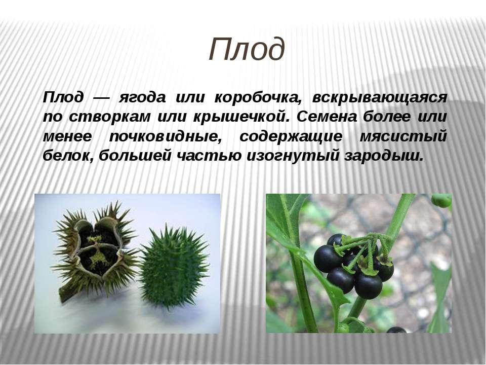 Плод Плод — ягода или коробочка, вскрывающаяся по створкам или крышечкой. Сем...