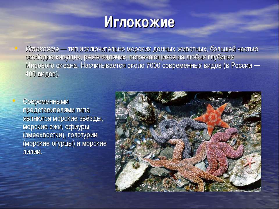 Иглокожие Иглокожие — тип исключительно морских донных животных, большей част...
