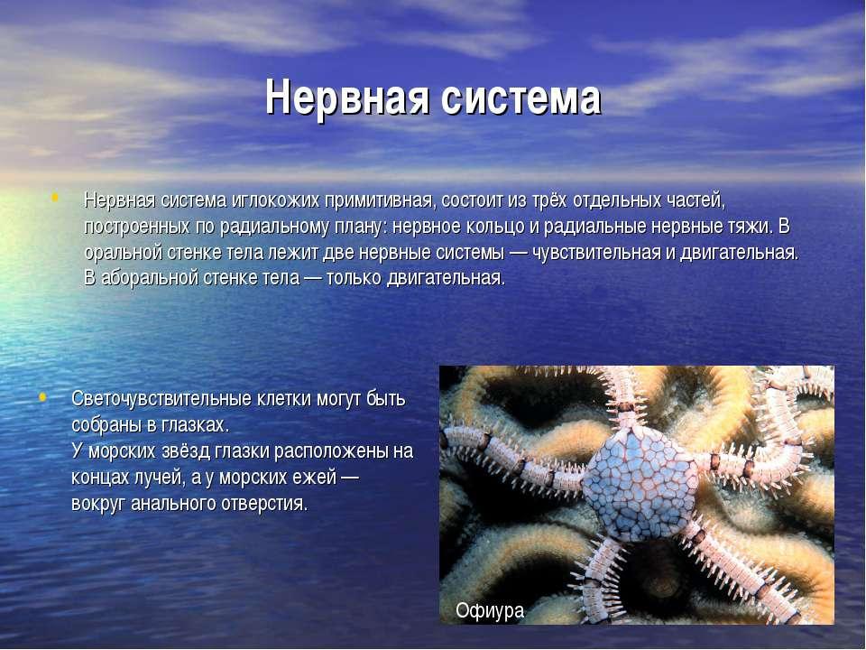 Нервная система Нервная система иглокожих примитивная, состоит из трёх отдель...
