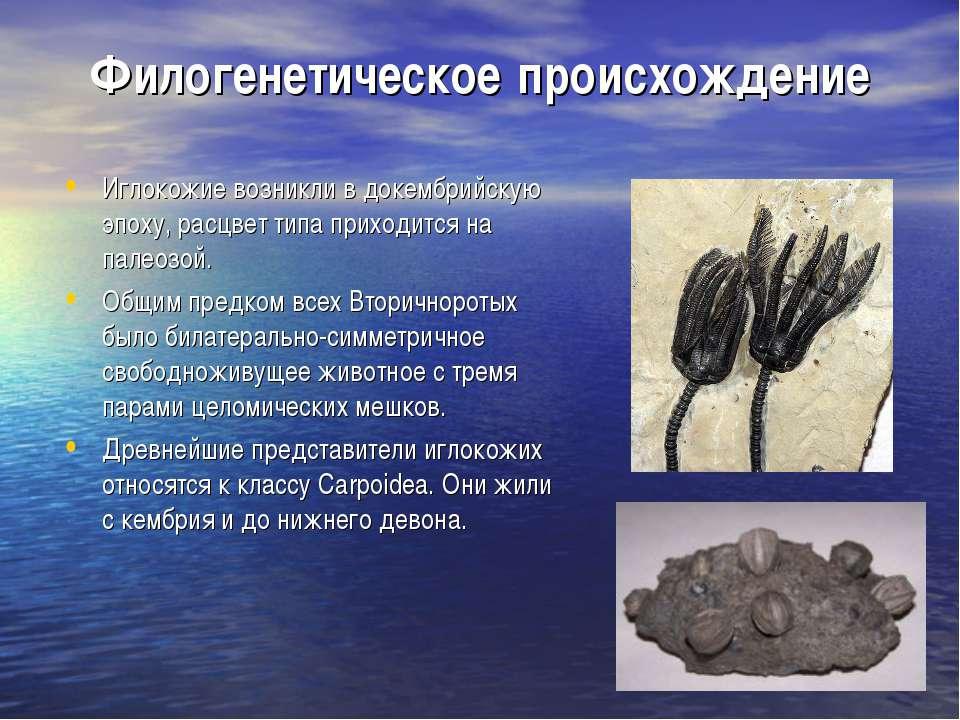 Филогенетическое происхождение Иглокожие возникли в докембрийскую эпоху, расц...