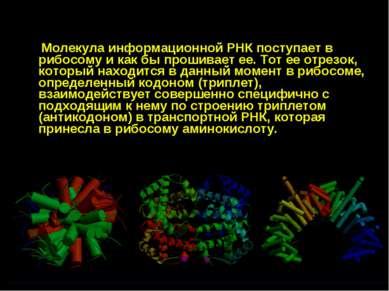 Молекула информационной РНК поступает в рибосому и как бы прошивает ее. Тот е...