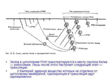 Затем в цитоплазме РНК транспортируются к месту синтеза белка— рибосомам. Лиш...