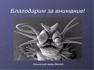 Благодарим за внимание! Кольчатый червь (Nereis)