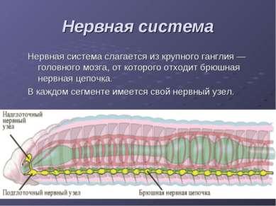 Нервная система Нервная система слагается из крупного ганглия — головного моз...