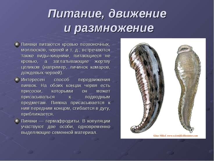 Питание, движение и размножение Пиявки питаются кровью позвоночных, моллюсков...