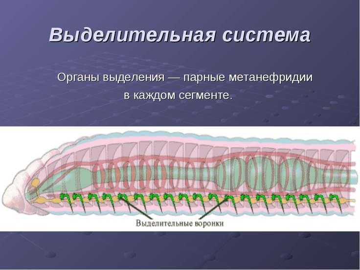 Выделительная система Органы выделения — парные метанефридии в каждом сегменте.