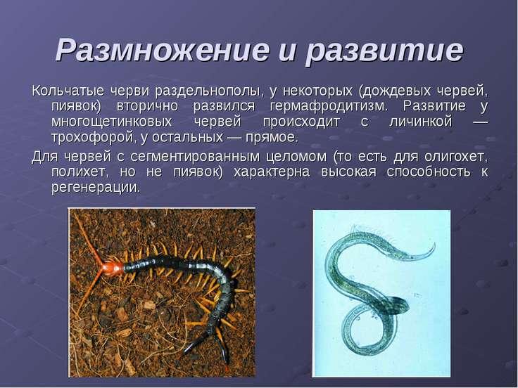 Размножение и развитие Кольчатые черви раздельнополы, у некоторых (дождевых ч...
