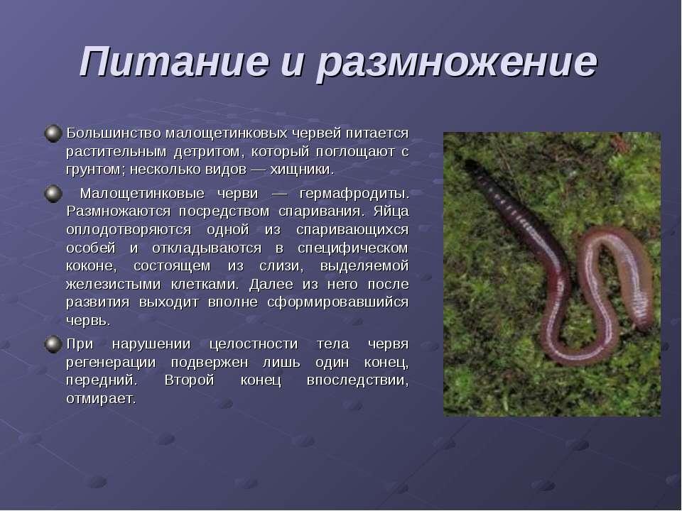 Большинство малощетинковых червей питается растительным детритом, который пог...