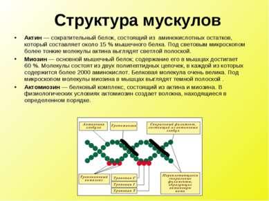 Актин — сократительный белок, состоящий из аминокислотных остатков, который с...