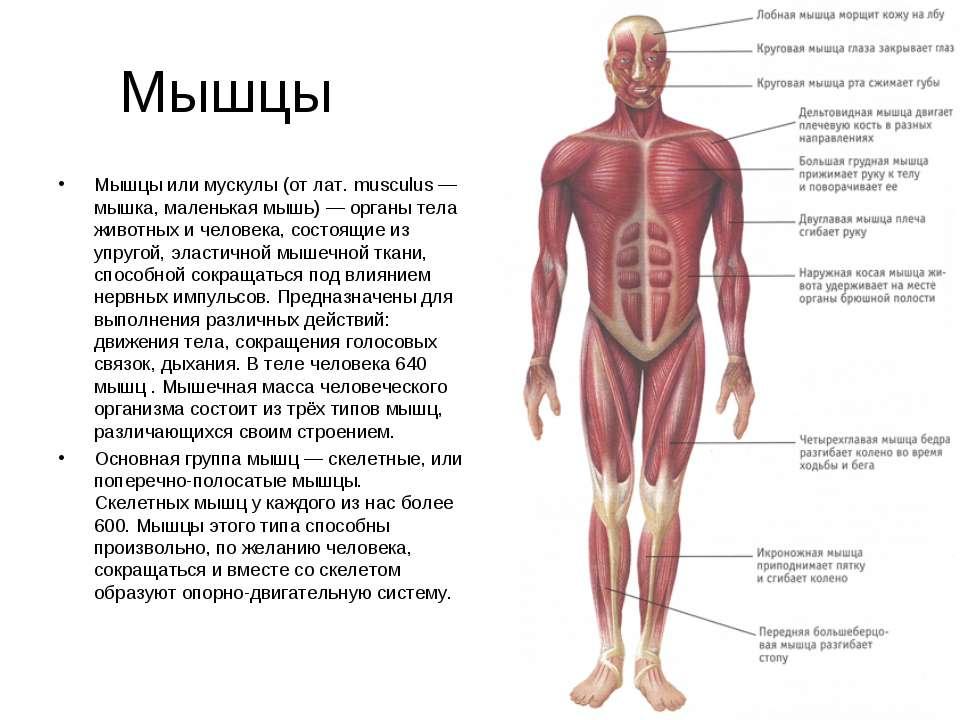 Мышцы Мышцы или мускулы (от лат. musculus — мышка, маленькая мышь) — органы т...