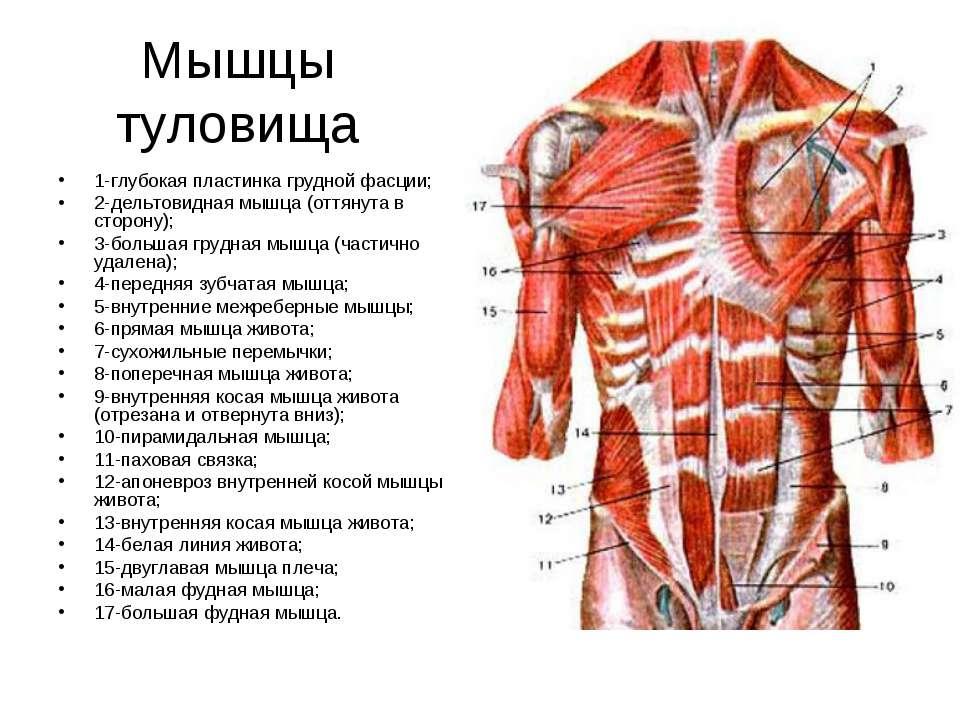 Мышцы туловища 1-глубокая пластинка грудной фасции; 2-дельтовидная мышца (отт...