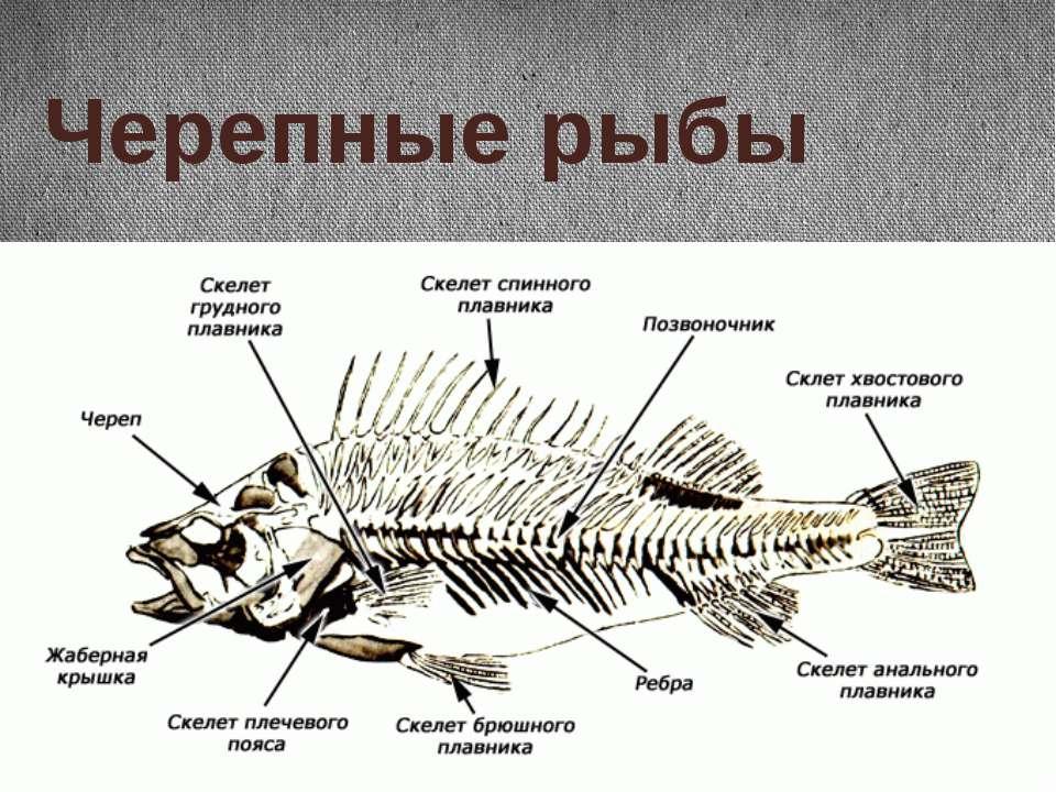 Черепные рыбы