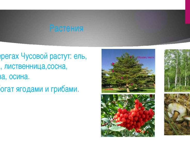 Растения На берегах Чусовой растут: ель, пихта, лиственница,сосна, береза, ос...