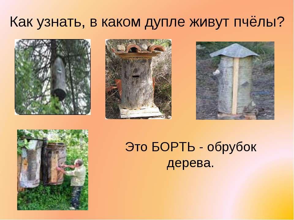 Как узнать, в каком дупле живут пчёлы? Это БОРТЬ - обрубок дерева.