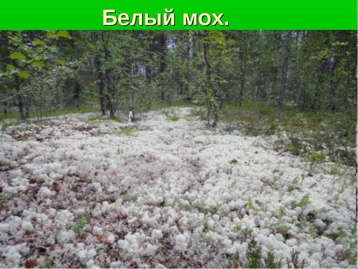 Белый мох.