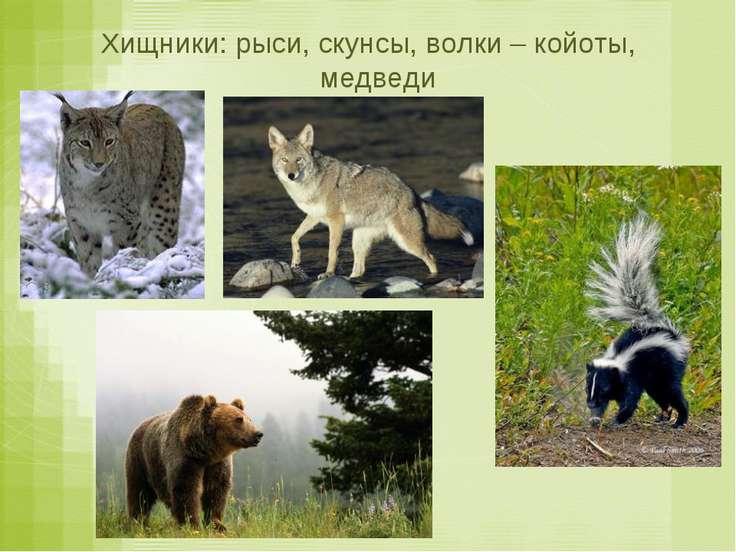 Хищники: рыси, скунсы, волки – койоты, медведи