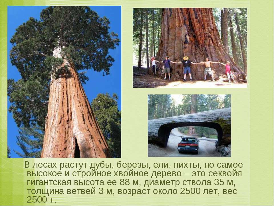 В лесах растут дубы, березы, ели, пихты, но самое высокое и стройное хвойное ...