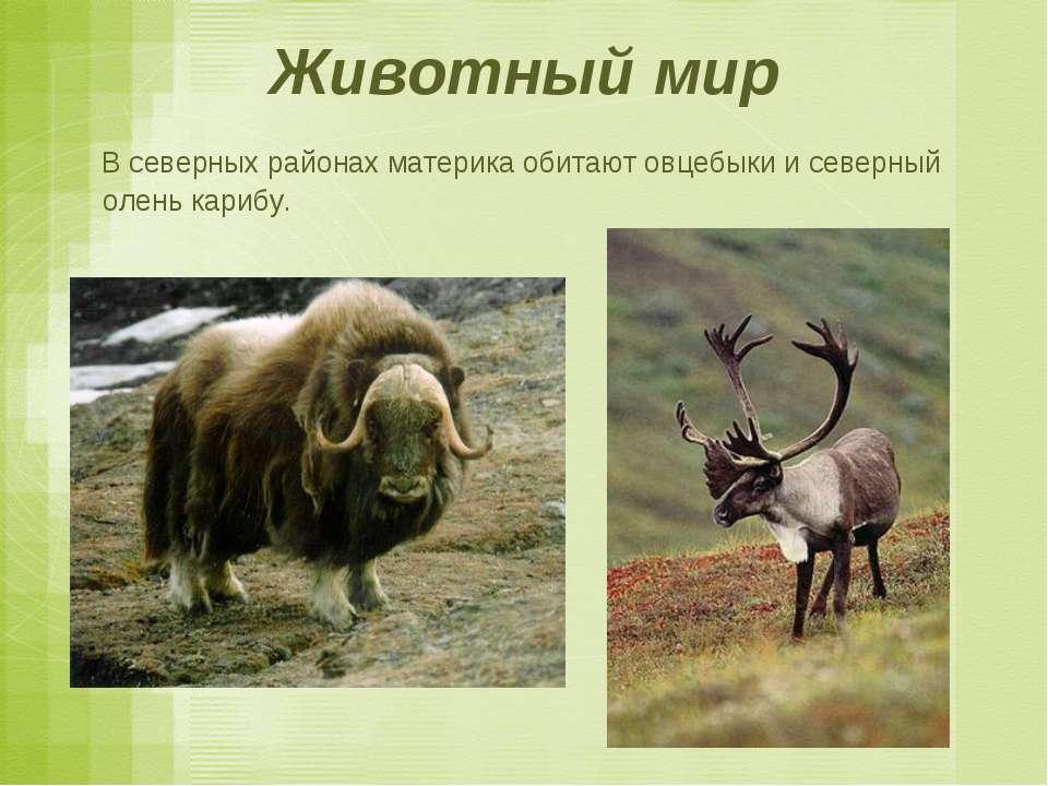 Животный мир В северных районах материка обитают овцебыки и северный олень ка...