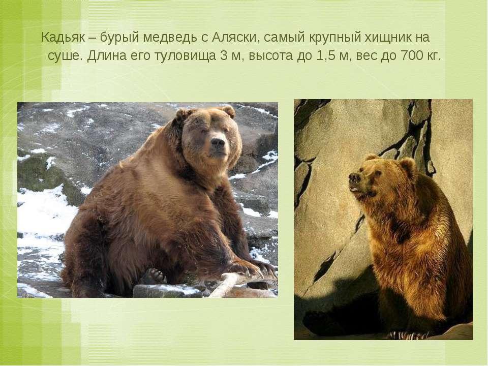 Кадьяк – бурый медведь с Аляски, самый крупный хищник на суше. Длина его туло...