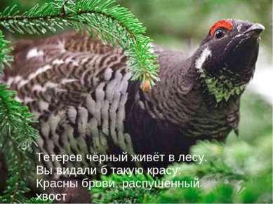 Тетерев чёрный живёт в лесу. Вы видали б такую красу: Красны брови, распушенн...