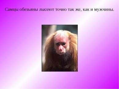 Самцы обезьяны лысеют точно так же, как и мужчины.