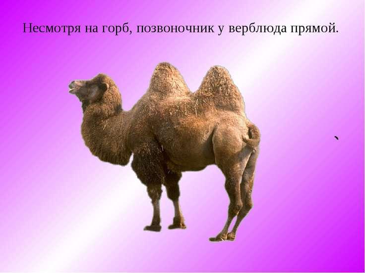 Несмотря на горб, позвоночник y верблюда прямой.
